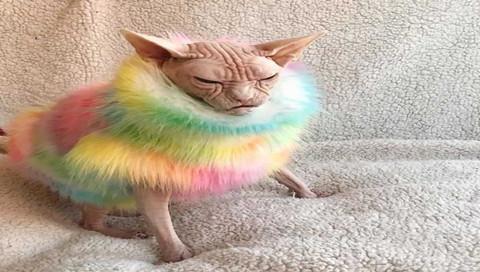无毛斯芬克斯猫的可爱日常图集