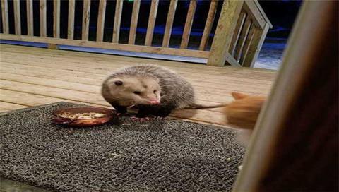 貓咪被老鼠搶食圖集